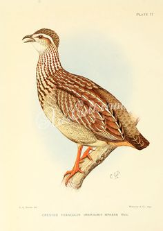 The Game-birds & Water-fowl of South Africa 1912 Crested Francolin Canvas Art - Sergeant Charles G Davis x South African Birds, Old Book Pages, Game Birds, Art Clipart, Picture Collection, Vintage Books, Picture Wall, Wall Collage, Graphic Illustration