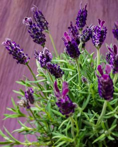 Lavender  The aroma of lavender has long been thought to ease anxious feelings. While you could light a scented candle, the natural fragrance of fresh lavender perfumes the air constantly for a more consistent effect.