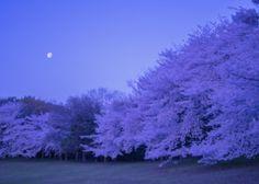 春よ、来い! | 植物 > 桜の写真 | GANREF