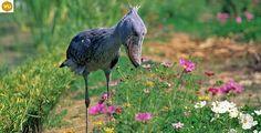 https://www.facebook.com/WonderBirds-171150349611448/ Cò mỏ giầy; Họ Cò mỏ giầy-Balaenicipitidae; châu Phi    Shoebill/Whalehead (Balaeniceps rex) IUCN Red List of Threatened Species 3.1 : Vulnerable (VU)(Loài sắp nguy cấp)