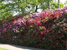 Изгородь из рододендрона и сирени Green, Plants, Garden, Outdoor, Green Fence, Hedgerow, Outdoor Gardens, Fence, Hedgerow Fence