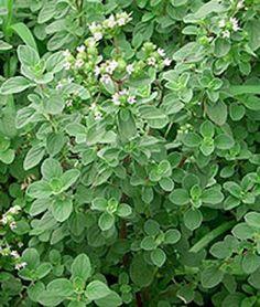 GardenSeed: Sweet Marjoram (Origanum majorana) 甜马郁兰