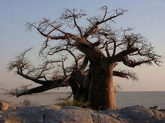 Baobab by Makgobokgobo. Le Baobab, Baobab Tree, Weird Trees, African Tree, Bonsai Styles, Beautiful Forest, Beautiful People, Tree Rings, Old Trees
