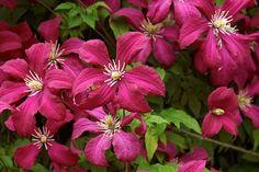 Klematisen Clematis 'Madame Julia Correvon' är överväldigande när den blommar i mitten av juli.