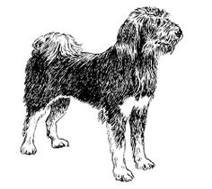 Tibetan Kyi-Apso Dog was not known to the outside world before 1937, when it was encountered by Mrs Eric Bailey.