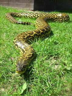 Anaconda Boa Constrictor, Anaconda, Beautiful Snakes, Animals And Pets, Wildlife, Python, Color, Poisonous Snakes, Albinism