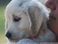 golden retriever ♥