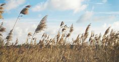 Free Image on Pixabay - Reed, Grasses, Wind, Nature, Plant
