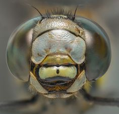 Dragonflies' ability to rip apart prey takes their predatory prowess to another level.