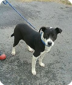photo 3 staffordshire bull terrierborder collie mix dog