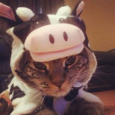 This cow who thinks you should just let cats be cats already.   20 Cats Who Deeply Resent Their Halloween Costumes