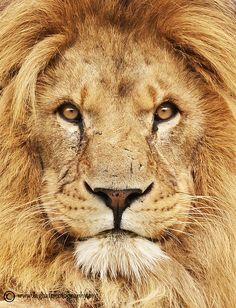 Les Plus Belles Photographies de Lions  Chambre237