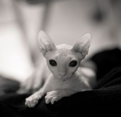 sphynx cat <3 some people say ugly I say adorable