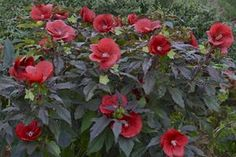 Hibiscus 'Midnight Marvel' - a perennial even in colder climates