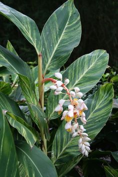 Women's Special: Four-Strategies Flowers Can Modify Your Working Day-To-Day Lifestyle Plant Variegated Shell Ginger Alpinia Zerumbet 'Variegata' For Its Gold And Green Pinstriped Leaves, And Enjoy Its Shell-Like Blooms In Areas Where It Rarely Freezes. Exotic Plants, Exotic Flowers, Tropical Flowers, Tropical Plants, Beautiful Flowers, Tropical Gardens, Florida Landscaping, Tropical Landscaping, Landscaping Plants