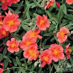 Helianthemum 'Henfield Brilliant' Rock Roses are versatile shrubby perennials,  in the rock garden,  hot, sunny border. This selection has single red-orange flowers, over a mound of silvery-grey foliage.  very good drainage, Trim plants lightly with hedge shears immediately after blooming, to prevent opening up in the middle. Evergreen in most areas. Drought tolerant, once established, these will also put up with poor, sandy soils.