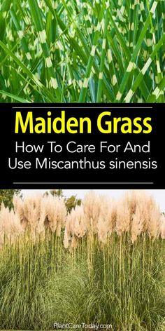 Maiden grass (Miscanthus sinensis gracillimus), a full-bodied herbaceous perennial and hardy ornamental grass. Check these maiden grass care tips. Herbaceous Perennials, Flowers Perennials, Outdoor Plants, Garden Plants, Ornamental Grasses For Shade, Miscanthus Sinensis Gracillimus, Summer Bulbs, Shade Grass, Front Yard Landscaping