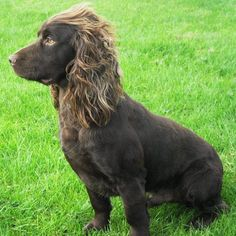 Betty Chocolate Working Cocker Spaniel Perfection! (Felstead Gundogs)