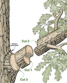Here's how to prune your tree without taking a big swath of tree bark along with it. Safely remove midsized branches for a healthier, better looking tree. It's as simple as 1-2-3.