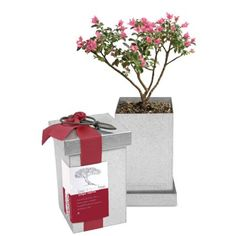 Crepe Myrtle Bonsai Kit, available at #surlatable