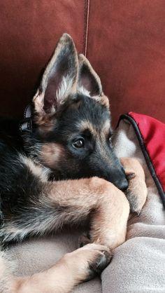 German Shepherd Puppy: