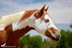 All The Pretty Horses, Beautiful Horses, Animals Beautiful, Pretty Animals, Cute Baby Animals, Animals Images, Animal Pictures, American Paint Horse, Horse Anatomy