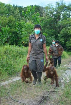 This amazing photo is from Global Volunteers at our Orangutan Conservation Program in Borneo! This volunteer project is based at a wildlife centre in Borneo that is focused on the rescue and rehabilitation of all protected wildlife within Sarawak. The work you do as a volunteer significantly helps the rehabilitation of rescued wildlife with the hope of eventual release. #globalworkandtravel #travel #volunteer