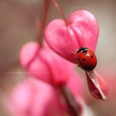 Ladybug and Bleeding hearts by lieveheersbeestje