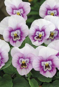 Horned Violet 'Sorbet Pink Halo' (Viola cornuta)