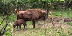 El Parque de la Prehistoria de Teverga es el único de Europa donde ves en vivo animales del Paleolítico. ¿Conoces al bebé bisonte que nació esta primavera?