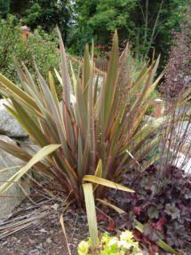Phormium tenax (New Zealand Flax) New Zealand Flax, Perennials, Landscape Design, Plants, Yard Ideas, Patio Ideas, Landscape Designs, Courtyard Ideas, Garden Ideas