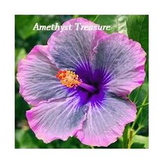 Amethyst Treasure Hibiscus, Hibiscus Seeds, 10 Seeds, Perennial Hibiscus, Hibiscus Flower.  I am attempting to grow this from seed obtained on Amazon.