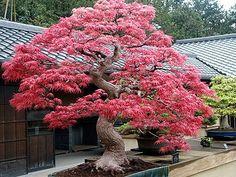 erable du japon plantation entretien fiches conseils 06 diy in the garden dans le. Black Bedroom Furniture Sets. Home Design Ideas