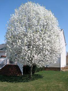 Flowering Pear Tree in full bloom