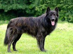 Dutch Shepherd dog - The Dutch Shepherd breed originated during the in the Netherlands as an all-purpose dog. They were adept cart-pullers, herders, police dogs, and used for guarding. Blue German Shepherd, Dutch Shepherd Dog, Beautiful Dog Breeds, Beautiful Dogs, Live Animals, Animals And Pets, Pharaoh Hound, Herding Dogs, Police Dogs