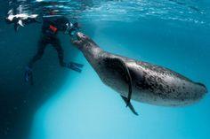 Leopard seal by Paul Nicklen