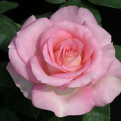 Falling In Love™, Classic blooms are formed on very thorny stems. This lovely rose is warm pink with a creamy reverse and is blessed with a rose/fruity fragrance. Makes a good cut flower.