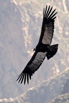 Wings of the Andean Condor in flight. Body weight is up to 33 pounds; wingspan is up to 10.5 feet.
