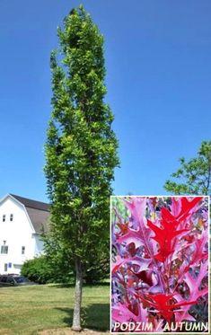 Quercus palustris - Green pillar oak