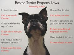 """Boston Terrier Property Laws""  ((giggle))"