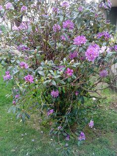 bebeteca. Arbusto en primavera.