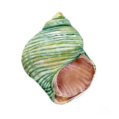 Shell Painting - Green Turbo Shell by Amy Kirkpatrick