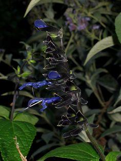 Salvia guaranitica Black and Blue Garden Theme, Garden Art, Garden Design, Poison Garden, Moon Shadow, Wrought Iron Fences, How To Attract Hummingbirds, Beneficial Insects, White Gardens