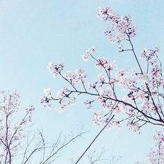 【girl_tn3】さんのInstagramをピンしています。 《もう明日出願だよ?? 死ぬ死ぬ死ぬ!!!まじ無理!!! #파이팅 #fight #頑張ろう #桜 #cherryblossom #sky #blue #pink #pastel #flower #fff #f4f #l4l #like4like #instagood #instalike #flowerme》