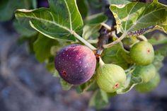 How to Grow Organic Figs