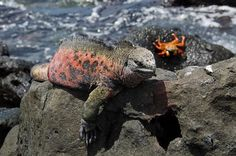 The Galapagos marine iguanas on Floreana and Espanola are more brightly colored than those on the other islands