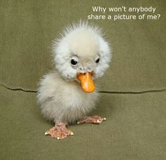 It''s so ugly it's cute. Such an Adorable Little Ugly but Cute Little Baby Duckling on the Farm - Aww! Cute Funny Animals, Cute Baby Animals, Animals And Pets, Farm Animals, Fluffy Animals, Happy Animals, Jungle Animals, Wild Animals, Tier Fotos