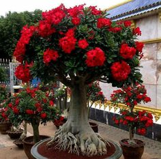 This Exotic Bonsai Has 2 Peculiarities: First, Look at the Intrincate Roots and Now Observe The Blooming Little Groups of Blood Red Flowers. Plantas Bonsai, Exotic Flowers, Red Flowers, Beautiful Flowers, Ikebana, Desert Rose Plant, Miniature Trees, Bonsai Garden, Cacti And Succulents