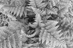 Lady-fern, Finland by Heikki Rantala Lady Fern, Ferns, Finland, Gardening, Lawn And Garden, Horticulture
