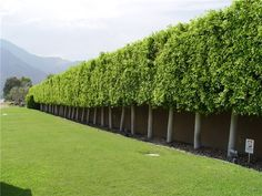 This ficus hedge is composed of trees that reach thirty feet tall but are mercil. This ficus hedge Landscaping Around Trees, Landscaping Near Me, Hillside Landscaping, Tropical Landscaping, Outdoor Landscaping, Tropical Garden, Landscaping Ideas, Privacy Trees, Privacy Plants